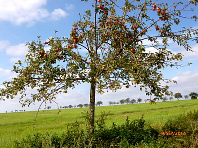 Apfelbäume--8.9.14   (2)