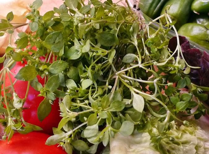 Chicoree,Salat mit Vorelmiere,Kartoffelgratin -9.4.15   (4)