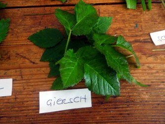 Grüne Soße aus Wildkräutern,Pellkartoffeln,Joghurtspeise mit Waldhe3idelbeeren (8)